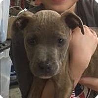Adopt A Pet :: Arya-Adoption Pending - Memphis, TN