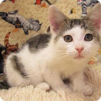 Adopt A Pet :: PIGLET - New Cumberland, WV