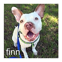Adopt A Pet :: Finn - Dallas, TX