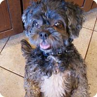 Lhasa Apso Dog for adoption in Apple Valley, Utah - Susan