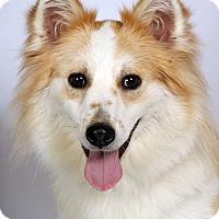 Adopt A Pet :: Lily Aussie Mix - St. Louis, MO
