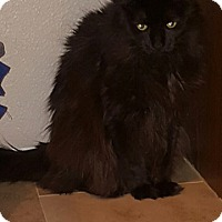 Domestic Longhair Cat for adoption in Glendale, Arizona - Marla