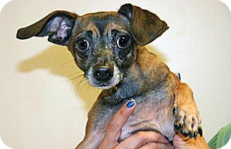 Chihuahua Mix Dog for adoption in Wildomar, California - Chronos