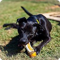Labrador Retriever Mix Dog for adoption in Alpharetta, Georgia - Ladybug
