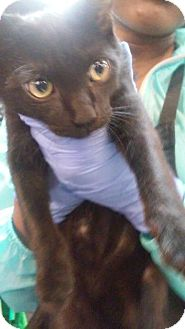 Oriental Cat for adoption in Raleigh, North Carolina - Timon