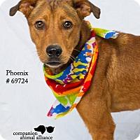 Labrador Retriever/Shepherd (Unknown Type) Mix Dog for adoption in Baton Rouge, Louisiana - Phoenix