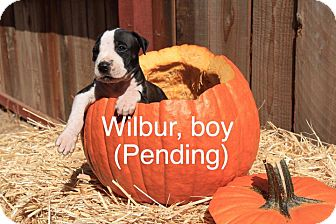 American Pit Bull Terrier Mix Puppy for adoption in Sonoma, California - Wilbur