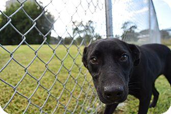 Labrador Retriever Mix Dog for adoption in Friendswood, Texas - Sadie