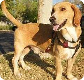Basset Hound Mix Dog for adoption in Whittier, California - Oscar