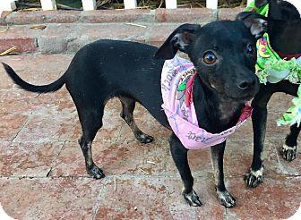 Italian Greyhound/Miniature Pinscher Mix Puppy for adoption in Santa Ana, California - Piper (BH)