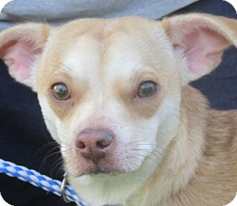 Chihuahua/Dachshund Mix Dog for adoption in Germantown, Maryland - Daylee