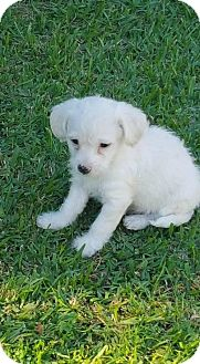 Cockapoo/Toy Poodle Mix Puppy for adoption in Long Beach, California - Maverick