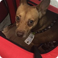Chihuahua Mix Dog for adoption in Monrovia, California - Max