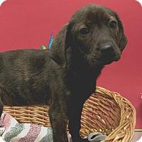 Adopt A Pet :: Dancer - Decatur, AL