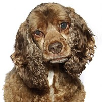 Cocker Spaniel Dog for adoption in Fort Lauderdale, Florida - Kajan