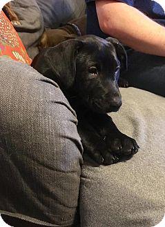 Pit Bull Terrier Mix Puppy for adoption in Durham, North Carolina - Poppy
