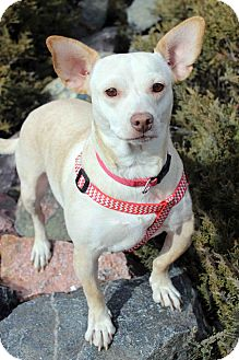 Dachshund Mix Puppy for adoption in Westminster, Colorado - BUTTERS