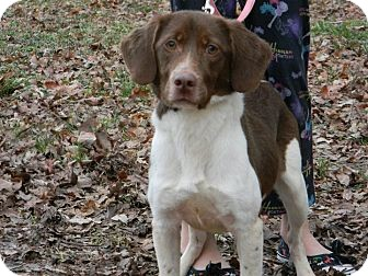 Brittany/Spaniel (Unknown Type) Mix Dog for adoption in Hagerstown, Maryland - Ginger