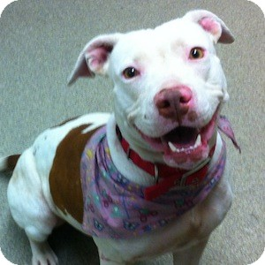 American Staffordshire Terrier/American Pit Bull Terrier Mix Dog for adoption in Gilbert, Arizona - Amber