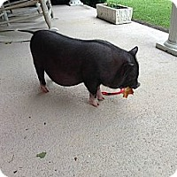 Adopt A Pet :: Wilbur- A Baby Pig - Bluff city, TN