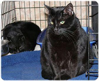 Domestic Shorthair Cat for adoption in Milford, Massachusetts - Jolly & Jonny & Job
