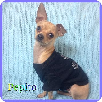 Chihuahua Mix Dog for adoption in Hollywood, Florida - Pepito