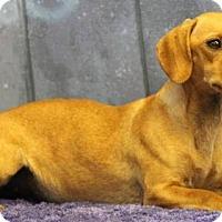 Adopt A Pet :: Karli - Gilbertsville, PA