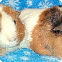 Adopt A Pet :: Nibbles - Steger, IL