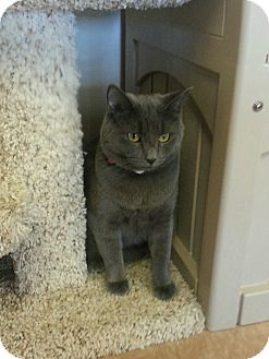 Domestic Shorthair Cat for adoption in Chesapeake, Virginia - Greycie