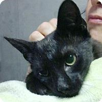 Adopt A Pet :: Orion: Bright Loving Star - Brooklyn, NY