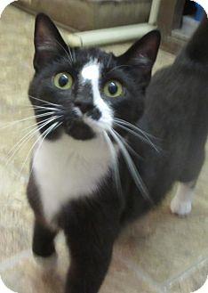 Domestic Shorthair Cat for adoption in Elkins, West Virginia - Kaya