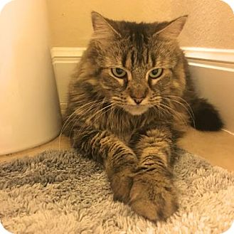 Domestic Mediumhair Cat for adoption in Austin, Texas - Sherella