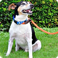 Rat Terrier/Jack Russell Terrier Mix Dog for adoption in McKinney, Texas - Riggs