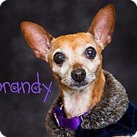 Adopt A Pet :: Brandy - Somerset, PA