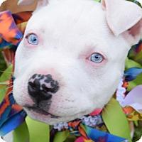 Adopt A Pet :: Pixie Lou - Colorado Springs, CO