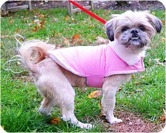 Shih Tzu Mix Dog for adoption in Huntington, New York - Pebbles