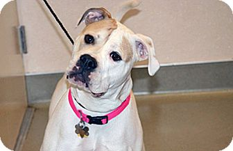 American Bulldog Mix Dog for adoption in Wildomar, California - Tahni