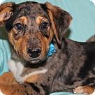 Adopt A Pet :: Saber