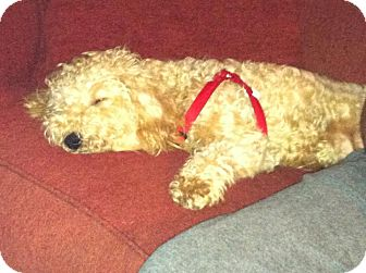 Bichon Frise/Poodle (Miniature) Mix Puppy for adoption in Shirley, New York - Sasha
