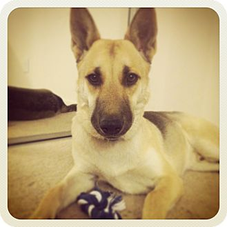 Shepherd (Unknown Type)/Australian Cattle Dog Mix Puppy for adoption in North Hollywood, California - Roscoe