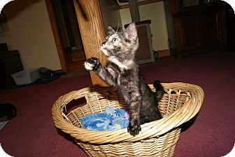 Domestic Shorthair Kitten for adoption in Trevose, Pennsylvania - Puddles
