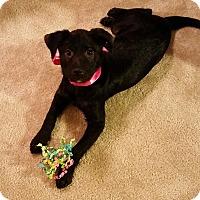 Adopt A Pet :: LULU Belle - Pflugerville, TX