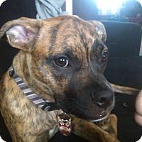 Adopt A Pet :: Saber - ROME, NY