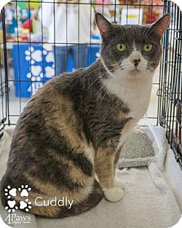 Domestic Shorthair Cat for adoption in Merrifield, Virginia - Cuddly