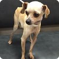 Adopt A Pet :: Luke - Las Vegas, NV