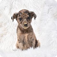 Adopt A Pet :: Canyon - Groton, MA