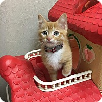 Adopt A Pet :: Begonia - Westminster, CO