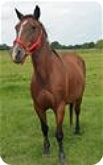 Quarterhorse Mix for adoption in LAFAYETTE, Louisiana - DELPHINE