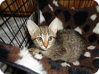Domestic Shorthair Kitten for adoption in Breinigsville, Pennsylvania - Savanah