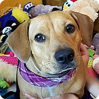 Dachshund/Pit Bull Terrier Mix Puppy for adoption in Portland, Oregon - MS DIZZY